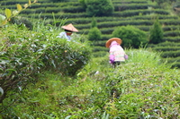 春节茶礼:野放红茶 . 铂金版